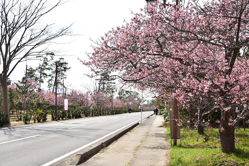 海岸通りの桜